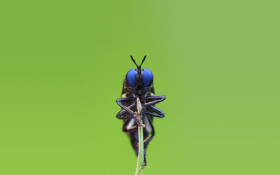 Blue eyed insect wallpaper