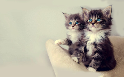 Blue eyed kittens wallpaper