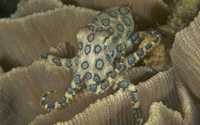 Blue-ringed octopus wallpaper 2560x1600 jpg