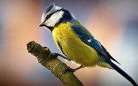Blue Tit wallpaper 2560x1600 jpg