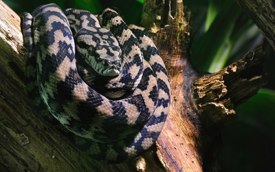 Boa constrictor on a tree log wallpaper