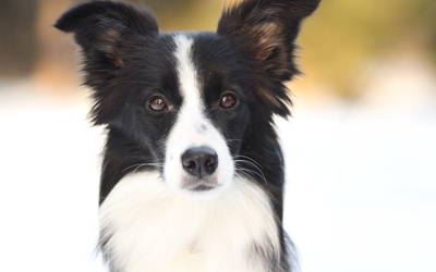 Border collie in the snow wallpaper