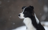 Border collie in the snowfall wallpaper 1920x1200 jpg