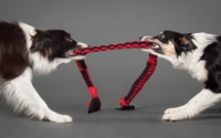 Border Collies [2] wallpaper 1920x1200 jpg