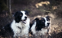 Border Collies wallpaper 2560x1600 jpg