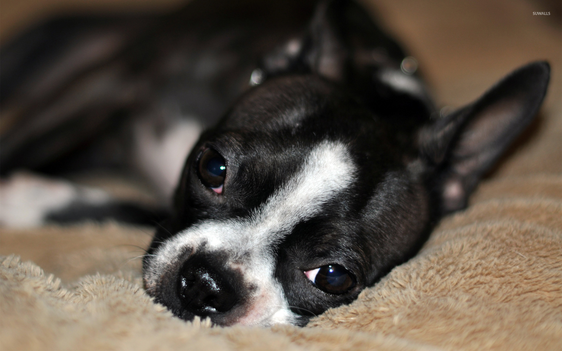 Boston Terrier 2 Wallpaper