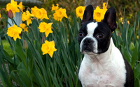 Boston Terrier wallpaper 1920x1200 jpg