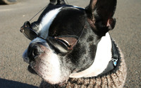 Boston Terrier with glasses wallpaper 1920x1200 jpg