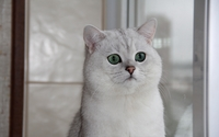 British Shorthair wallpaper 2560x1600 jpg