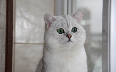 British Shorthair wallpaper