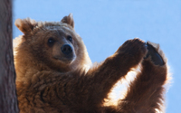 Brown bear [9] wallpaper 2560x1600 jpg