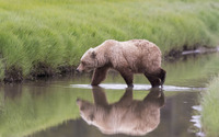 Brown bear [4] wallpaper 1920x1200 jpg