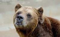 Brown bear [8] wallpaper 2560x1600 jpg