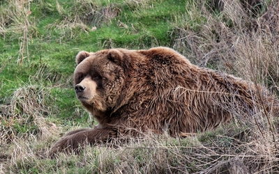 Brown bear [7] wallpaper