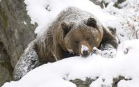 Brown bear covered in snow wallpaper 1920x1200 jpg
