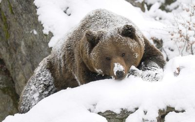 Brown bear covered in snow wallpaper