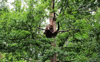 Brown bear in a tree wallpaper 1920x1200 jpg