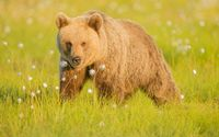 Brown bear in the grass wallpaper 1920x1200 jpg
