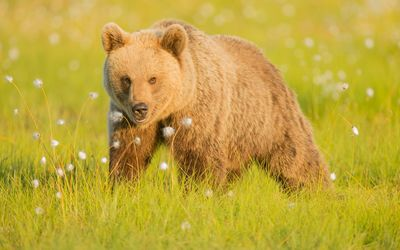 Brown bear in the grass wallpaper