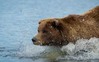 Brown bear in the river wallpaper 1920x1200 jpg