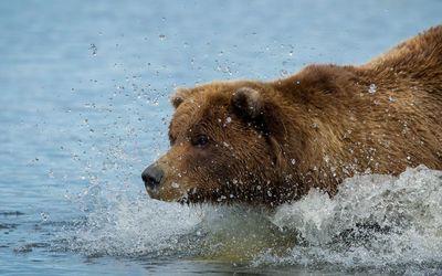 Brown bear in the river wallpaper