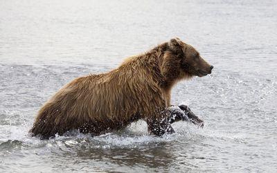 Brown bear in the water Wallpaper