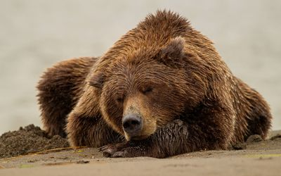 Brown bear sleeping on wet sand wallpaper