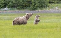 Brown bear with a cub [2] wallpaper 1920x1200 jpg
