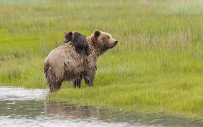 Brown bear with a cub wallpaper