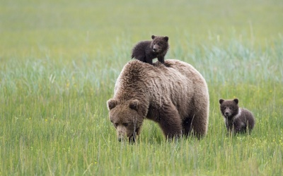 Brown bear with cubs [2] wallpaper