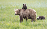 Brown bear with cubs wallpaper 1920x1200 jpg