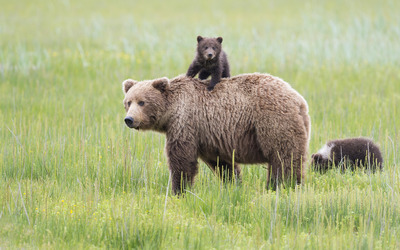 Brown bear with cubs Wallpaper