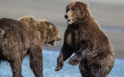 Brown bears wallpaper