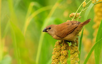 Brown bird wallpaper 1920x1200 jpg