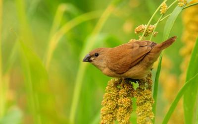 Brown bird wallpaper