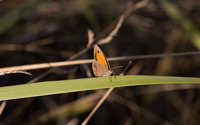 Brown butterfly on a grass blade wallpaper 2560x1600 jpg