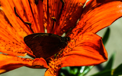 Brown butterfly on an orange lily wallpaper