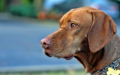 Brown dog wallpaper