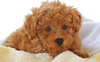 Brown fluffy puppy on a blanket wallpaper 1920x1080 jpg