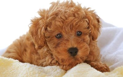 Brown fluffy puppy on a blanket wallpaper