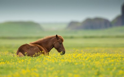 Brown horse in rapeseed field wallpaper