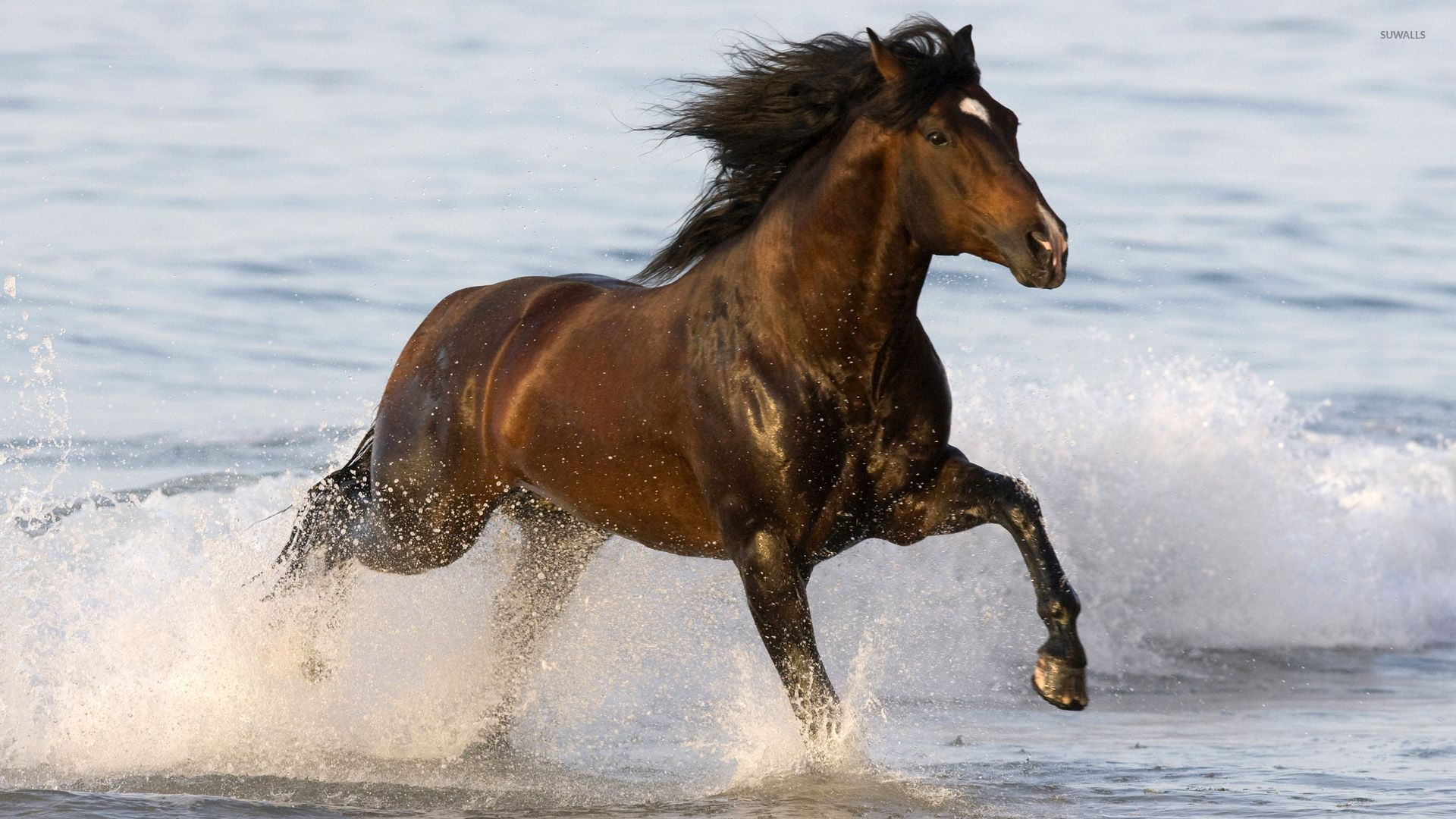 Brown Horse Running In The Sea Wallpaper Animal Wallpapers 53262