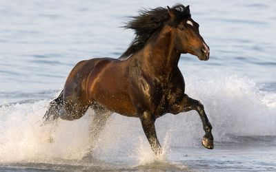 Brown horse running in the sea Wallpaper