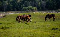 Brown horses grazing on the meadow wallpaper 1920x1200 jpg