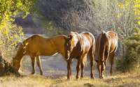 Brown horses on the field wallpaper 1920x1200 jpg