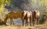Brown horses on the field wallpaper 1920x1200 jpg