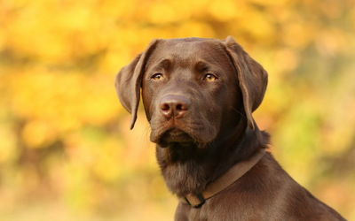 Brown Labrador retriever gazing wallpaper