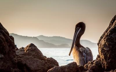 Brown pelican wallpaper