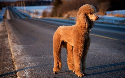 Brown Poodle on the road Wallpaper