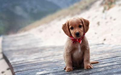 Brown puppy wallpaper